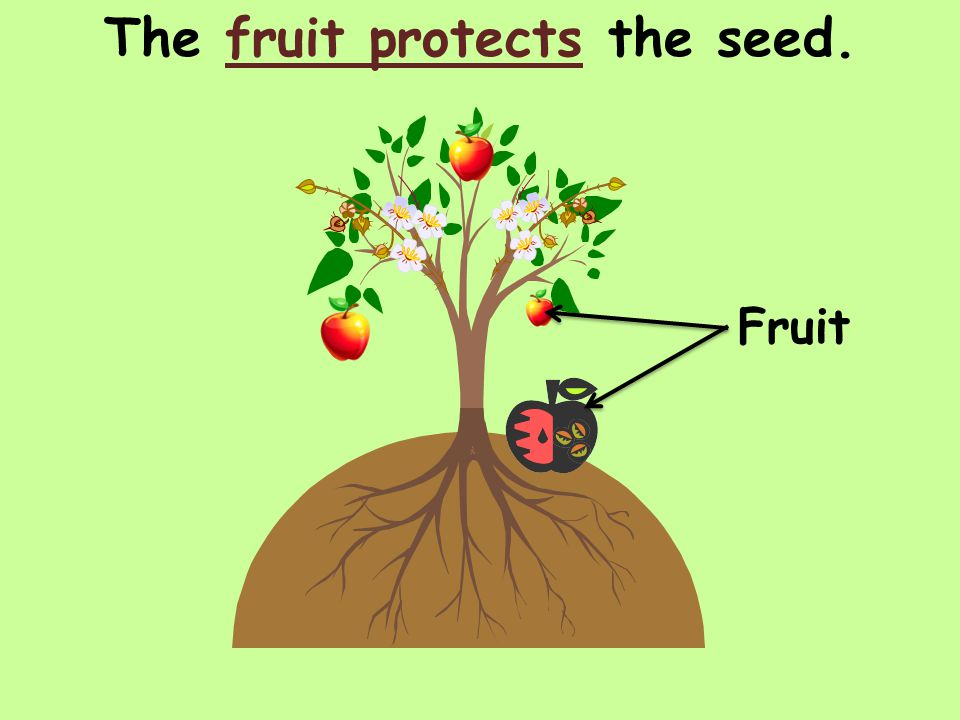 The fruit protects the seed. Fruit