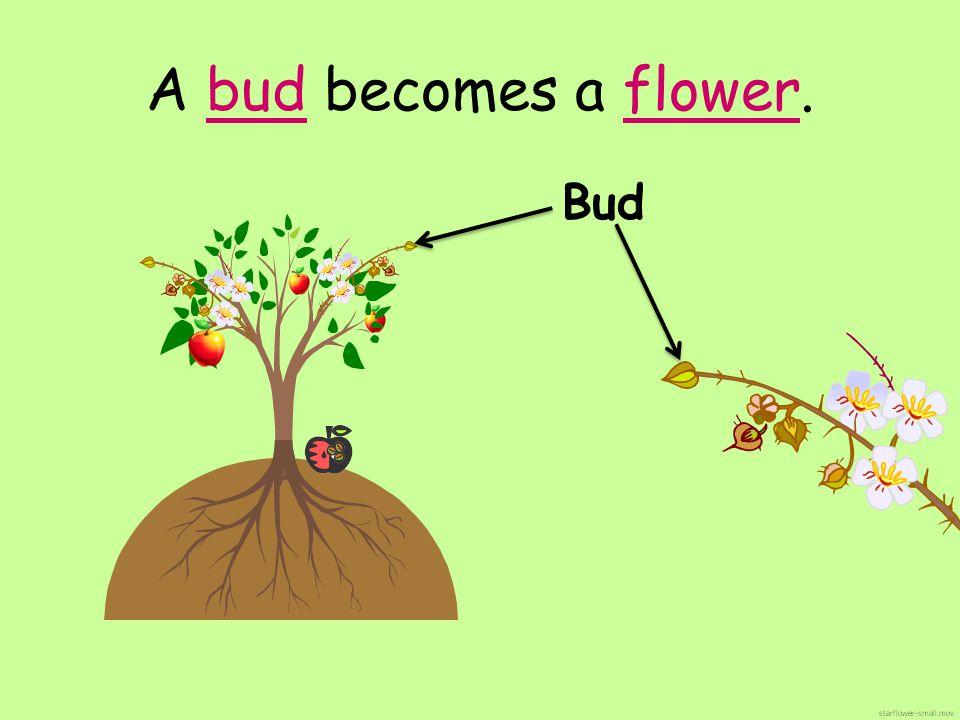 A bud becomes a flower. Bud