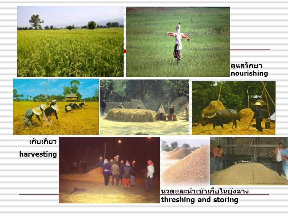 ดูแลรักษา nourishing เก็บเกี่ยว harvesting นวดและนำเข้าเก็บในยุ้งฉาง threshing and storing
