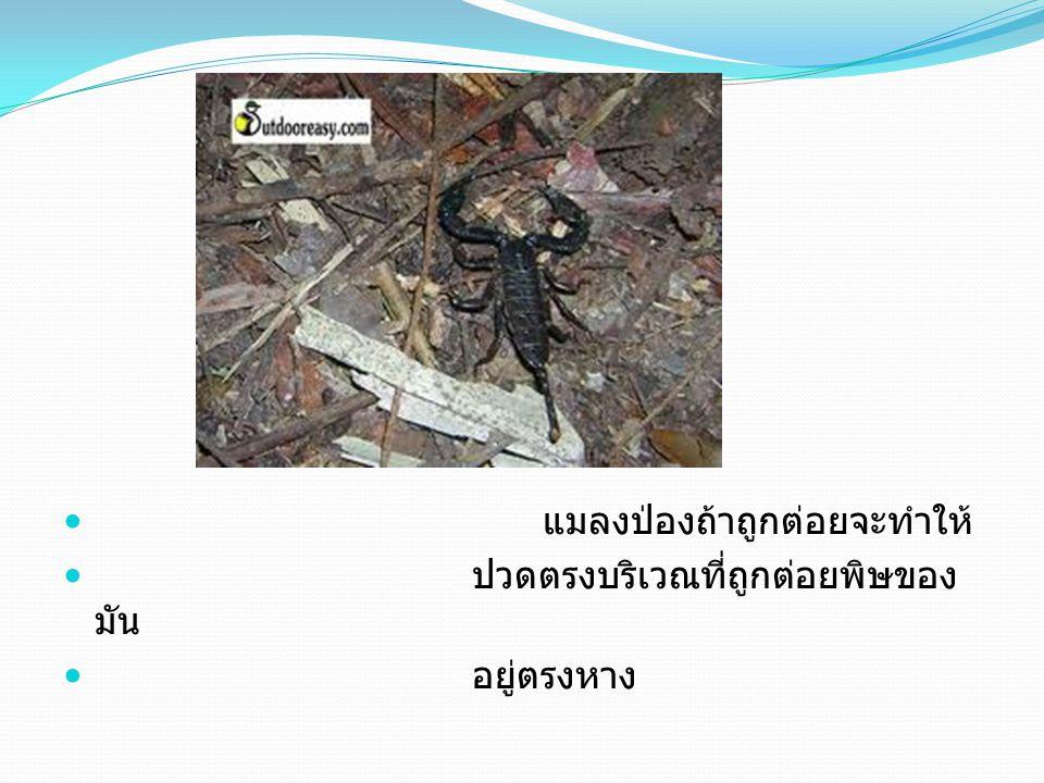 แมลงป่องถ้าถูกต่อยจะทำให้ ปวดตรงบริเวณที่ถูกต่อยพิษของ มัน อยู่ตรงหาง