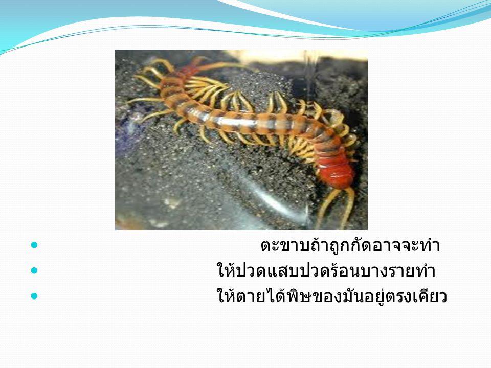 แมงมุมถ้าถูกกัดจะทำให้ ปวดแสบปวดร้อนพิษของมันอยู่ ตรงปาก