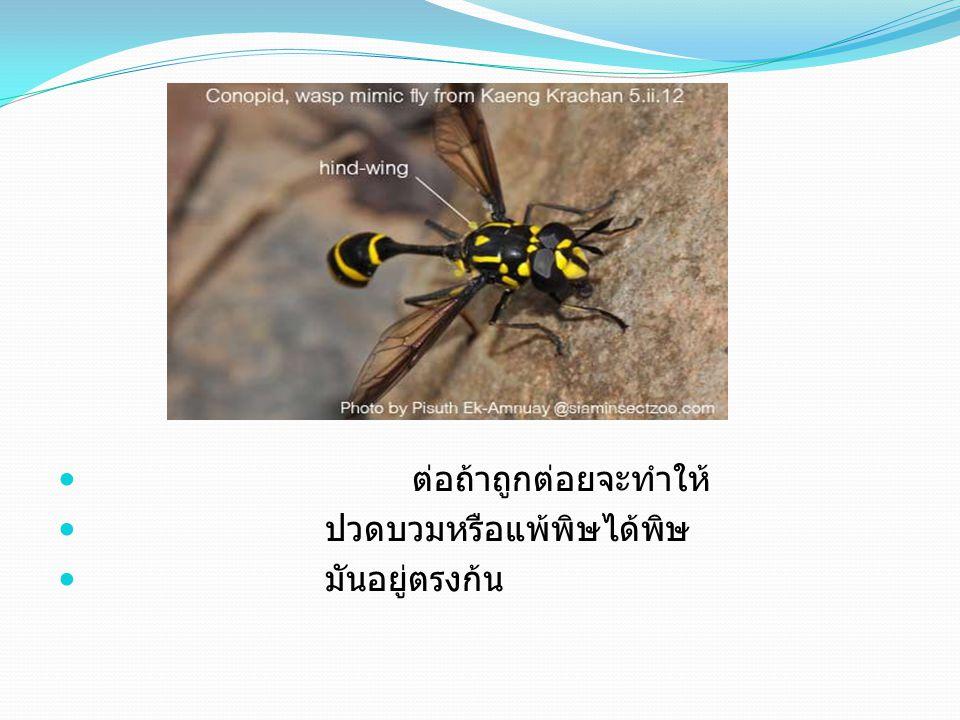 ผึ้งถ้าถูกต่อยจะทำให้ ปวดบวมหรือแพ้พิษได้พิษของ มันอยู่ตรงก้นแต่พิษของมัน จะน้อยกว่าต่อ