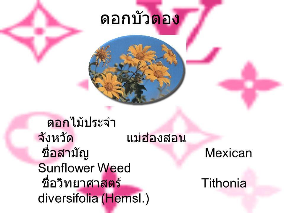 ดอกบัวตอง ดอกไม้ประจำ จังหวัด แม่ฮ่องสอน ชื่อสามัญ Mexican Sunflower Weed ชื่อวิทยาศาสตร์ Tithonia diversifolia (Hemsl.)