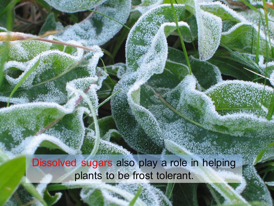 Dissolved sugars also play a role in helping plants to be frost tolerant.
