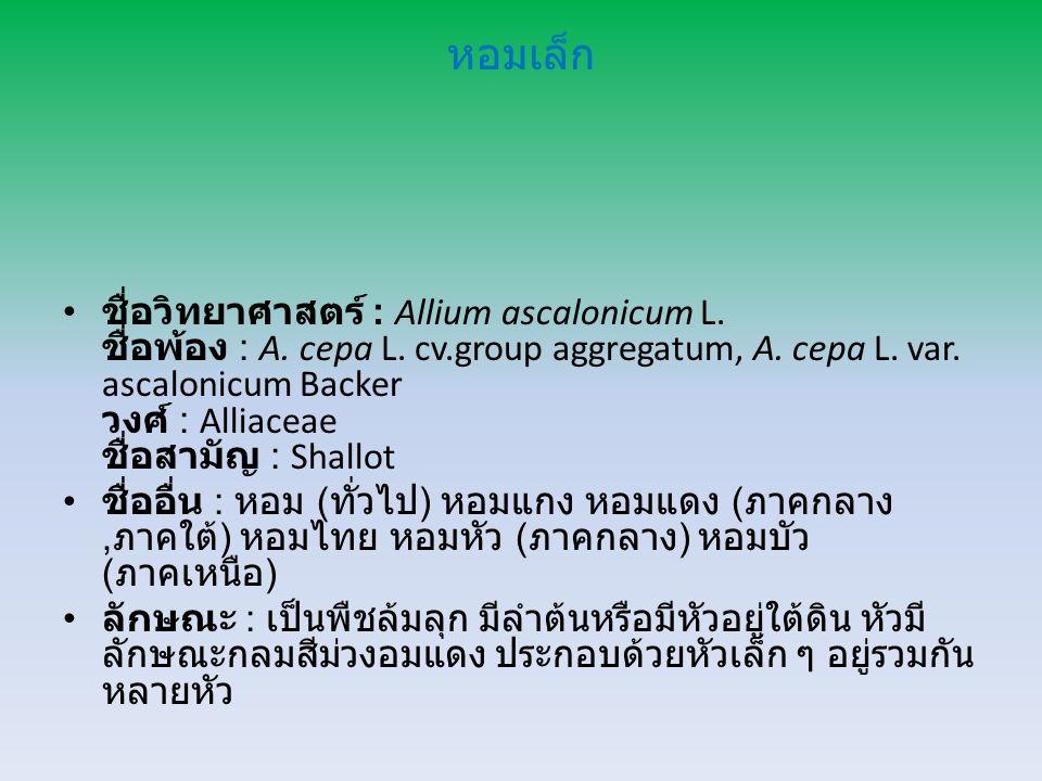 หอมเล็ก ชื่อวิทยาศาสตร์ : Allium ascalonicum L.ชื่อพ้อง : A.
