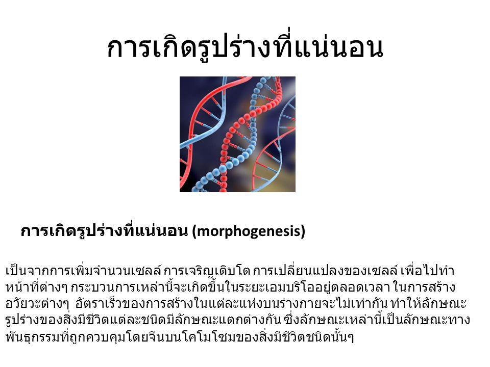 การเกิดรูปร่างที่แน่นอน การเกิดรูปร่างที่แน่นอน (morphogenesis) เป็นจากการเพิ่มจำนวนเซลล์ การเจริญเติบโต การเปลี่ยนแปลงของเซลล์ เพื่อไปทำ หน้าที่ต่างๆ กระบวนการเหล่านี้จะเกิดขึ้นในระยะเอมบริโออยู่ตลอดเวลา ในการสร้าง อวัยวะต่างๆ อัตราเร็วของการสร้างในแต่ละแห่งบนร่างกายจะไม่เท่ากัน ทำให้ลักษณะ รูปร่างของสิ่งมีชีวิตแต่ละชนิดมีลักษณะแตกต่างกัน ซึ่งลักษณะเหล่านี้เป็นลักษณะทาง พันธุกรรมที่ถูกควบคุมโดยจีนบนโคโมโซมของสิ่งมีชีวิตชนิดนั้นๆ