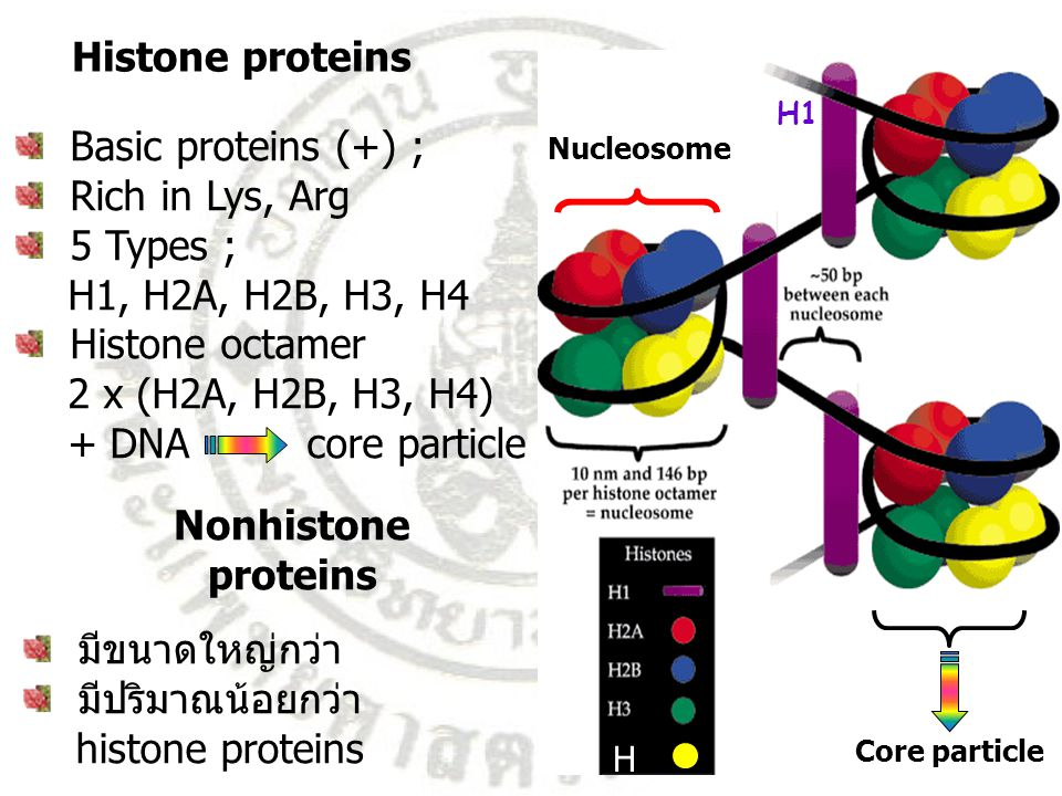 Histone proteins Basic proteins (+) ; Rich in Lys, Arg 5 Types ; H1, H2A, H2B, H3, H4 Histone octamer 2 x (H2A, H2B, H3, H4) + DNA core particle H4H4 Core particle Nucleosome มีขนาดใหญ่กว่า มีปริมาณน้อยกว่า histone proteins Nonhistone proteins H1