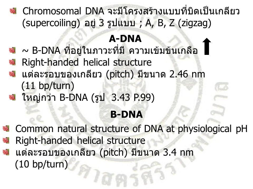 In vivo ; พบบริเวณ GC-rich sequence ของ DNA In vitro ; พบในสภาวะที่มี high salt concentration Left-handed helical structure แต่ละรอบของเกลียว (pitch) มีขนาด 4.56 nm (12 bp/turn) รูปร่างยาวและบางกว่า B-DNA Z-DNA