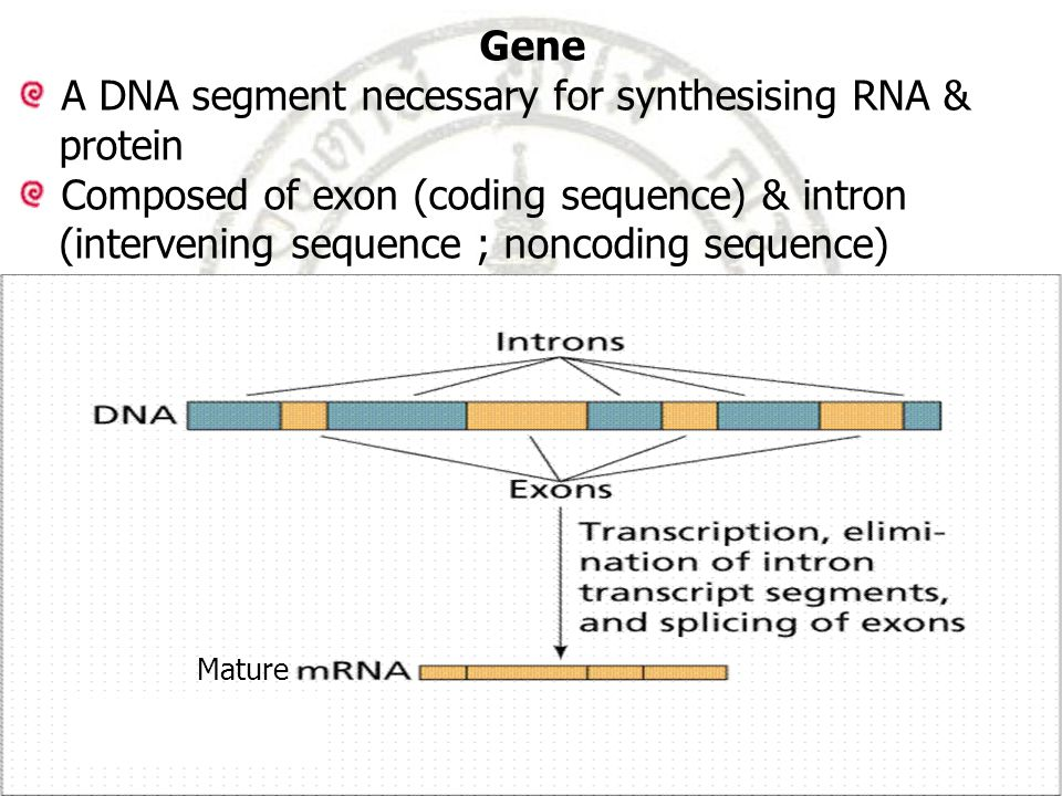 Gene A DNA segment necessary for synthesising RNA & protein Composed of exon (coding sequence) & intron (intervening sequence ; noncoding sequence) Mature