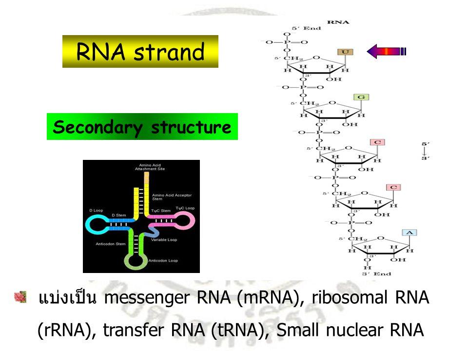 มีประมาณ 5% ของ RNA ทั้งหมด นำข้อมูลทาง พันธุกรรมจาก DNA ไปสังเคราะห์ โปรตีนที่ ribosome hn = Heteronuclear RNA hn Mature 1) mRNA