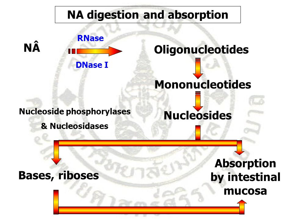 NÂ Oligonucleotides DNase I RNase Mononucleotides Nucleosides Absorption by intestinal mucosa Bases, riboses Nucleoside phosphorylases & Nucleosidases NA digestion and absorption
