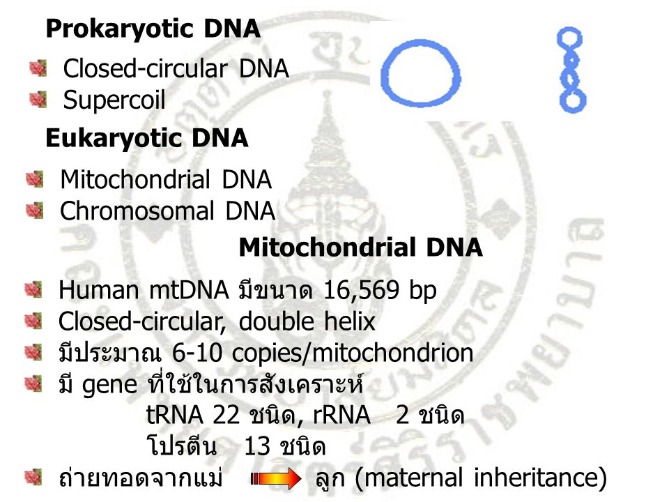 Structure of human mitochondrial DNA 16,569 bp