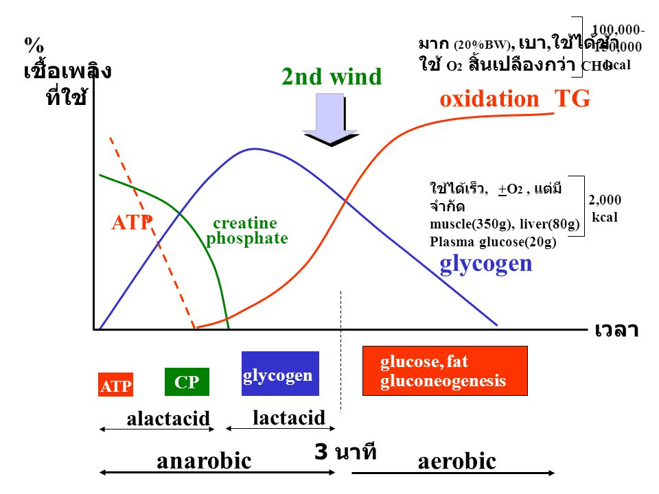 creatine phosphate CP ATP glycogen oxidation TG glucose, fat gluconeogenesis aerobic anarobic 3 นาที alactacid lactacid % เชื้อเพลิง ที่ใช้ เวลา 2nd w