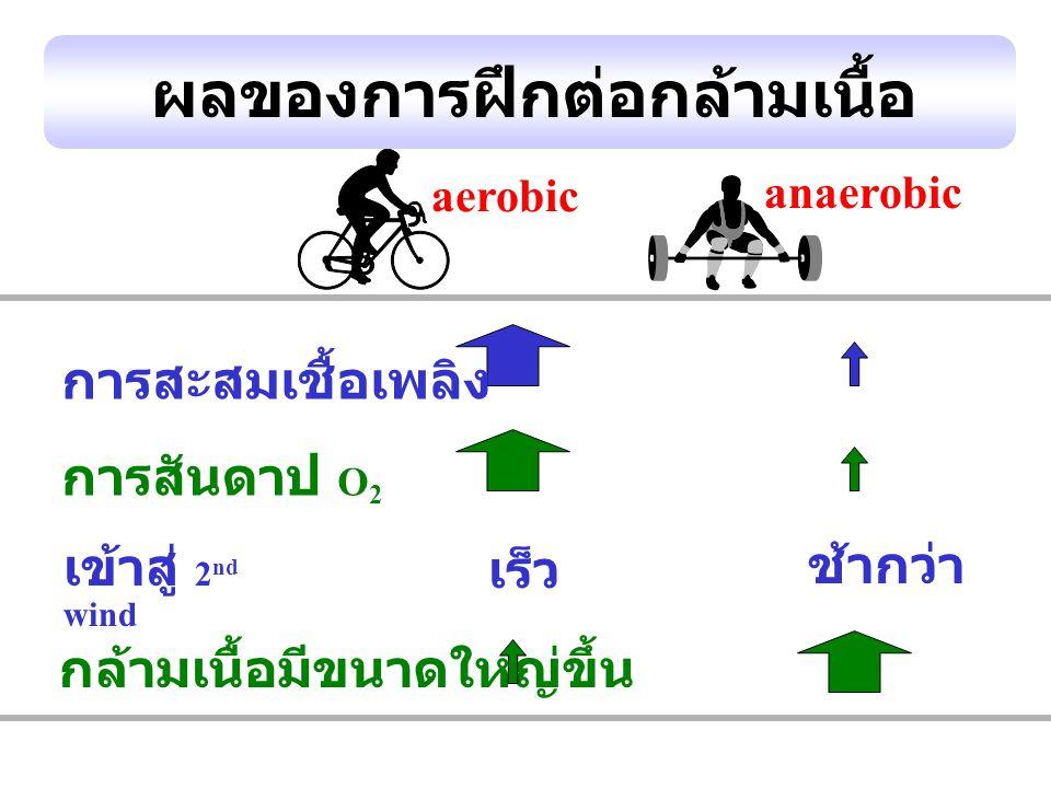 ผลของการฝึกต่อกล้ามเนื้อ aerobic anaerobic เร็ว ช้ากว่า การสะสมเชื้อเพลิง การสันดาป O 2 เข้าสู่ 2 nd wind กล้ามเนื้อมีขนาดใหญ่ขึ้น