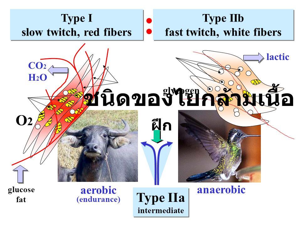 anaerobic aerobic (endurance) Type I slow twitch, red fibers Type I slow twitch, red fibers Type IIb fast twitch, white fibers Type IIb fast twitch, w