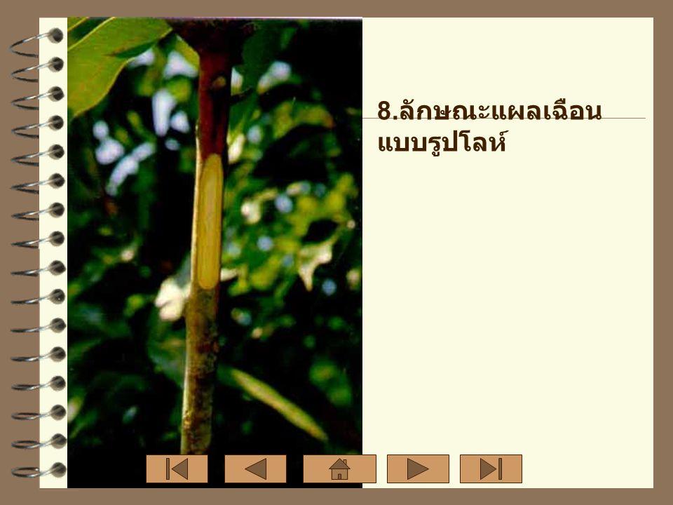 9. ปาดต้น ตอเป็นรูป ปากฉลาม สูงจาก ปากถุง ประมาณ 2 นิ้ว และ ให้รอย แผลยาว ประมาณ 1- 1½ นิ้ว