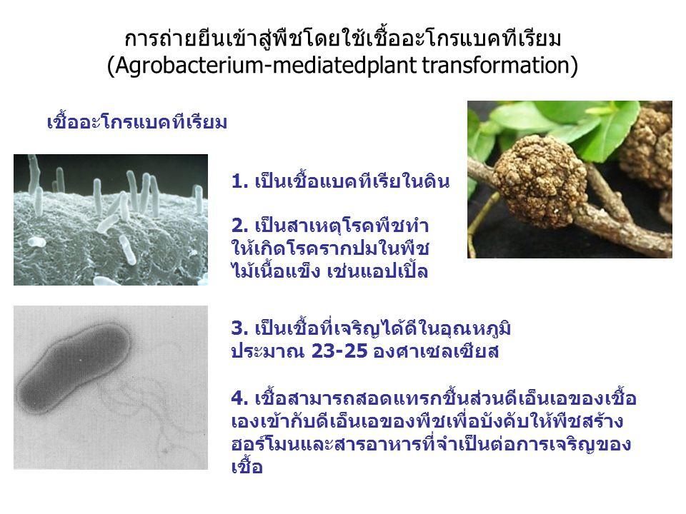 การถ่ายยีนเข้าสู่พืชโดยใช้เชื้ออะโกรแบคทีเรียม (Agrobacterium-mediatedplant transformation) เชื้ออะโกรแบคทีเรียม 1. เป็นเชื้อแบคทีเรียในดิน 2. เป็นสาเ