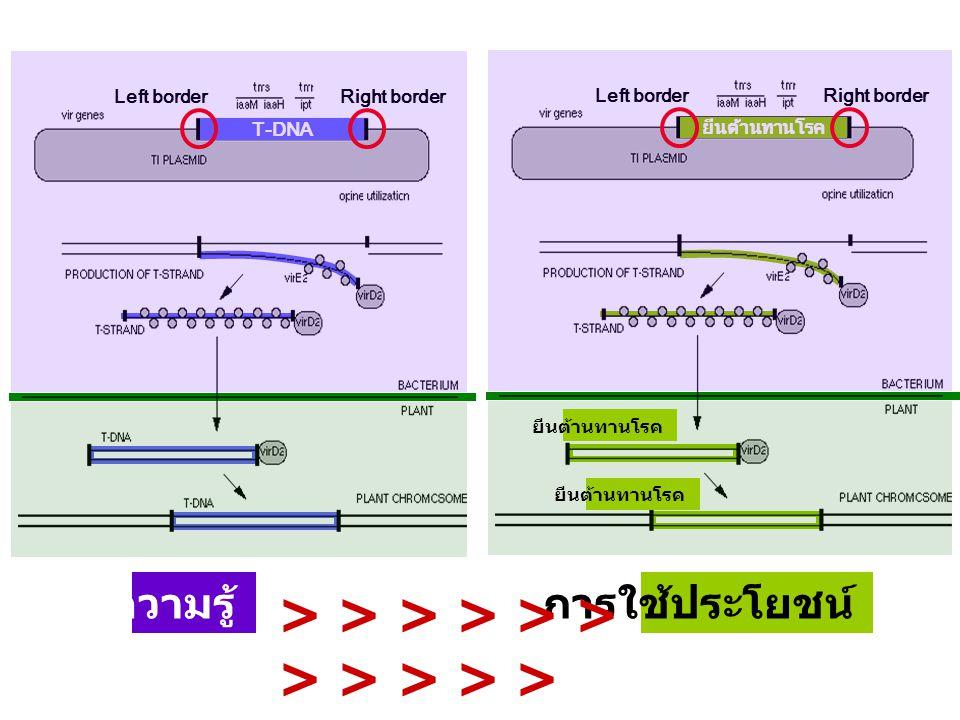 ความรู้การใช้ประโยชน์ > > > > > > > > > > > T-DNA Left borderRight border ยีนต้านทานโรค Left borderRight border ยีนต้านทานโรค
