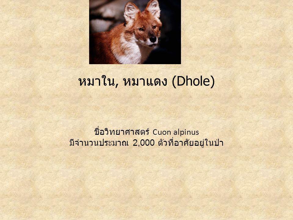 หมาใน, หมาแดง (Dhole) ชื่อวิทยาศาสตร์ Cuon alpinus มีจำนวนประมาณ 2,000 ตัวที่อาศัยอยู่ในป่า