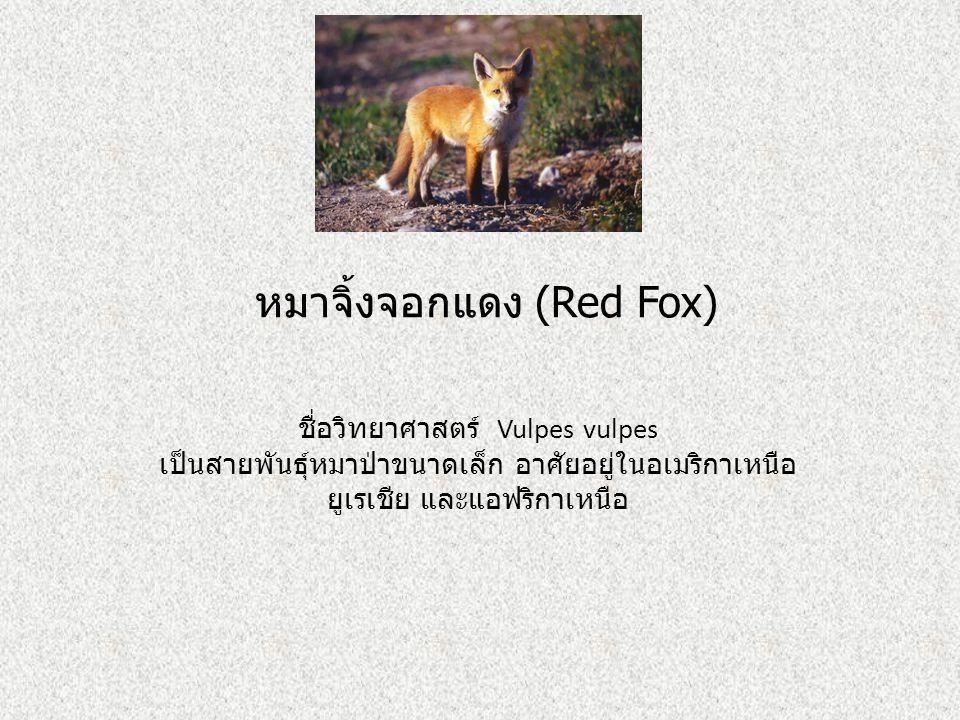หมาจิ้งจอกแดง (Red Fox) ชื่อวิทยาศาสตร์ Vulpes vulpes เป็นสายพันธุ์หมาป่าขนาดเล็ก อาศัยอยู่ในอเมริกาเหนือ ยูเรเชีย และแอฟริกาเหนือ