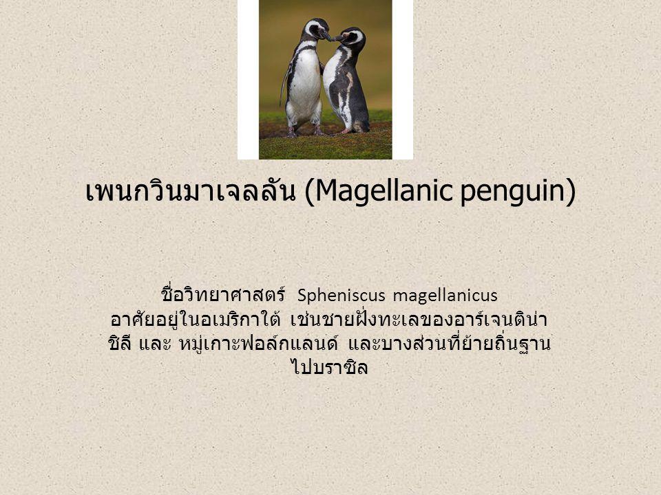 เพนกวินมาเจลลัน (Magellanic penguin) ชื่อวิทยาศาสตร์ Spheniscus magellanicus อาศัยอยู่ในอเมริกาใต้ เช่นชายฝั่งทะเลของอาร์เจนติน่า ชิลี และ หมู่เกาะฟอล