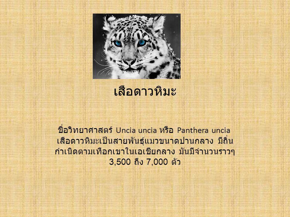 เสือดาวหิมะ ชื่อวิทยาศาสตร์ Uncia uncia หรือ Panthera uncia เสือดาวหิมะเป็นสายพันธุ์แมวขนาดปานกลาง มีถิ่น กำเนิดตามเทือกเขาในเอเชียกลาง มันมีจำนวนราวๆ 3,500 ถึง 7,000 ตัว