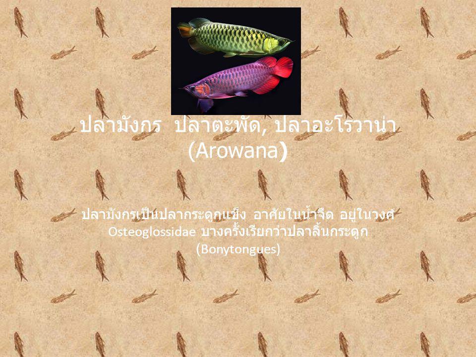 ปลามังกร ปลาตะพัด, ปลาอะโรวาน่า (Arowana) ปลามังกรเป็นปลากระดูกแข็ง อาศัยในน้ำจืด อยู่ในวงศ์ Osteoglossidae บางครั้งเรียกว่าปลาลิ้นกระดูก (Bonytongues)