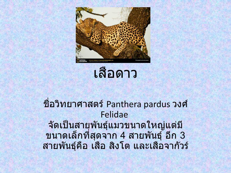 เสือดาว ชื่อวิทยาศาสตร์ Panthera pardus วงศ์ Felidae จัดเป็นสายพันธุ์แมวขนาดใหญ่แต่มี ขนาดเล็กที่สุดจาก 4 สายพันธุ์ อีก 3 สายพันธุ์คือ เสือ สิงโต และเสือจากัวร์