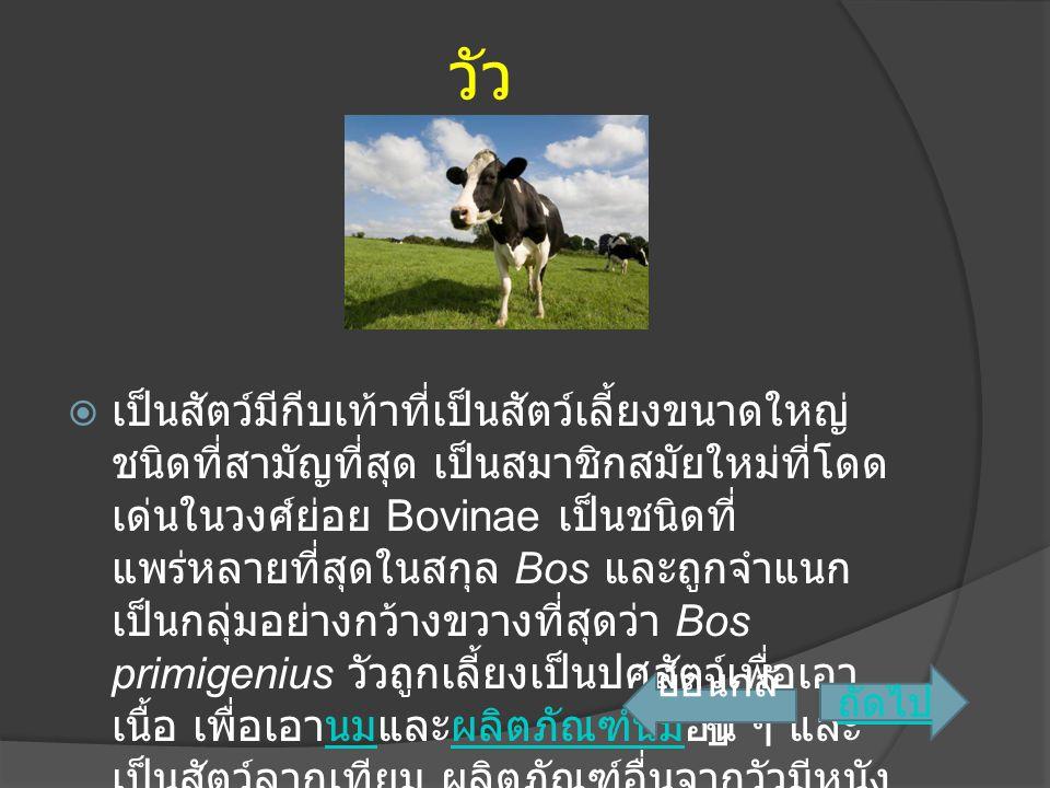 วัว  เป็นสัตว์มีกีบเท้าที่เป็นสัตว์เลี้ยงขนาดใหญ่ ชนิดที่สามัญที่สุด เป็นสมาชิกสมัยใหม่ที่โดด เด่นในวงศ์ย่อย Bovinae เป็นชนิดที่ แพร่หลายที่สุดในสกุล