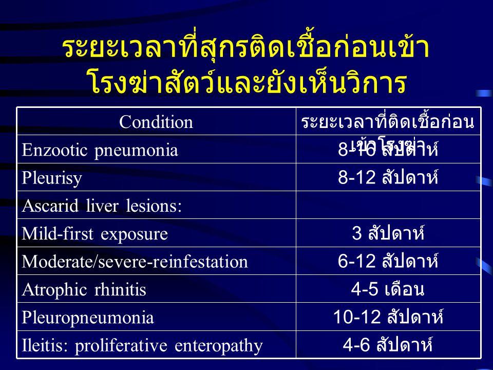 ระยะเวลาที่สุกรติดเชื้อก่อนเข้า โรงฆ่าสัตว์และยังเห็นวิการ 4-6 สัปดาห์ Ileitis: proliferative enteropathy 10-12 สัปดาห์ Pleuropneumonia 4-5 เดือน Atro