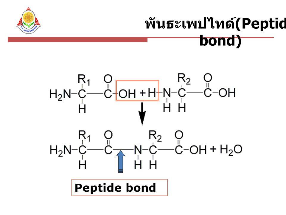 พันธะเพปไทด์ (Peptide bond) Peptide bond
