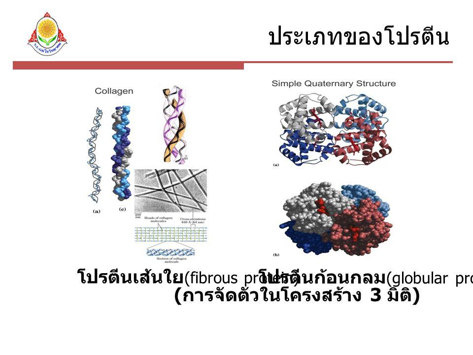 ประเภทของโปรตีน โปรตีนเส้นใย (fibrous protein) โปรตีนก้อนกลม (globular protein) ( การจัดตัวในโครงสร้าง 3 มิติ )