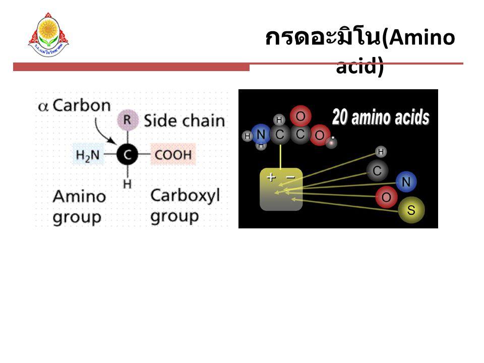 กรดอะมิโน (Amino acid)