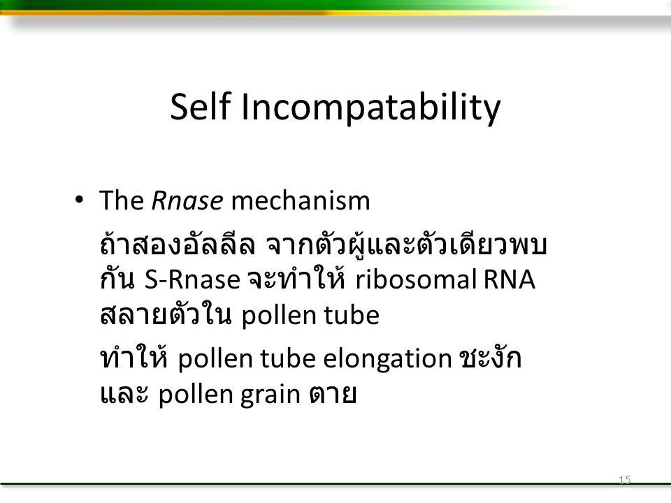Self Incompatability The Rnase mechanism ถ้าสองอัลลีล จากตัวผู้และตัวเดียวพบ กัน S-Rnase จะทำให้ ribosomal RNA สลายตัวใน pollen tube ทำให้ pollen tube elongation ชะงัก และ pollen grain ตาย 15