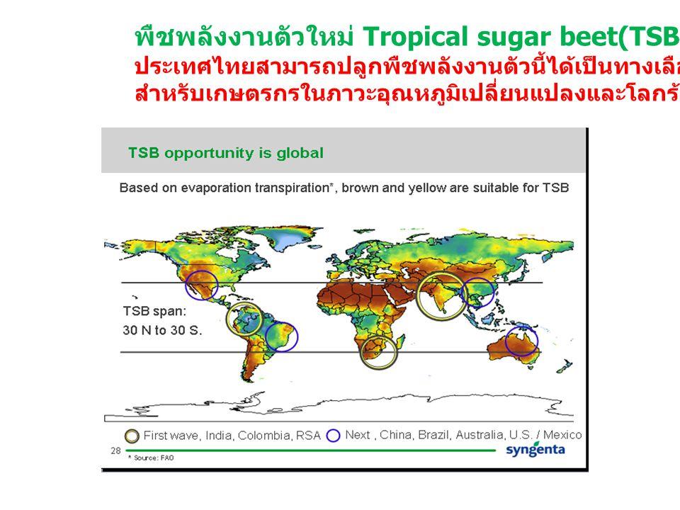 พืชพลังงานตัวใหม่ Tropical sugar beet(TSB) ประเทศไทยสามารถปลูกพืชพลังงานตัวนี้ได้เป็นทางเลือกหนึ่ง สำหรับเกษตรกรในภาวะอุณหภูมิเปลี่ยนแปลงและโลกร้อน