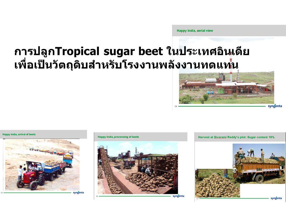 การปลูก Tropical sugar beet ในประเทศอินเดีย เพื่อเป็นวัตถุดิบสำหรับโรงงานพลังงานทดแทน