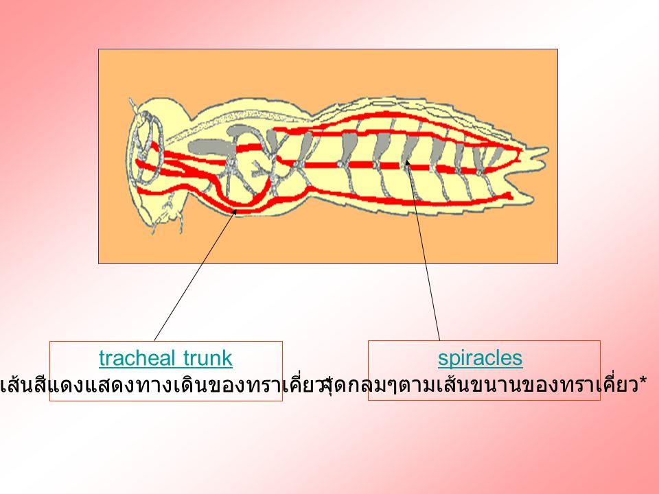 tracheal trunk เส้นสีแดงแสดงทางเดินของทราเคี่ยว * spiracles จุดกลมๆตามเส้นขนานของทราเคี่ยว *