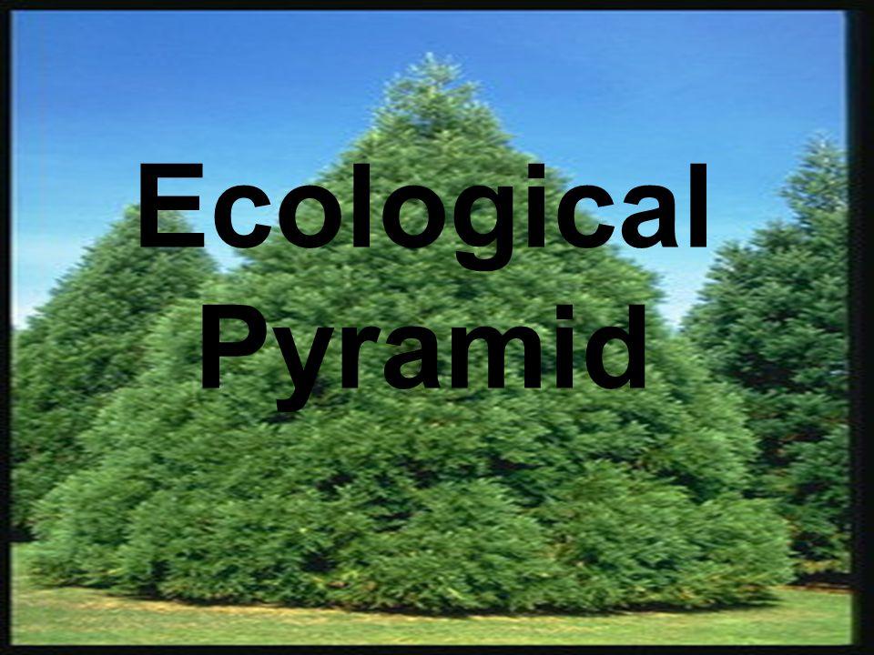 Pyramid of number แสดงให้เห็นจำนวน สิ่งมีชีวิตในแต่ละลำดับขั้นของ ห่วงโซ่อาหารมีหน่วยเป็น จำนวนต่อตาราง เมตร