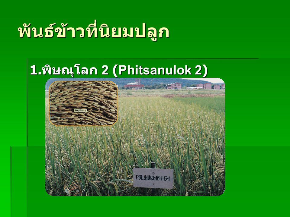 พันธ์ข้าวที่นิยมปลูก 1. พิษณุโลก 2 (Phitsanulok 2)