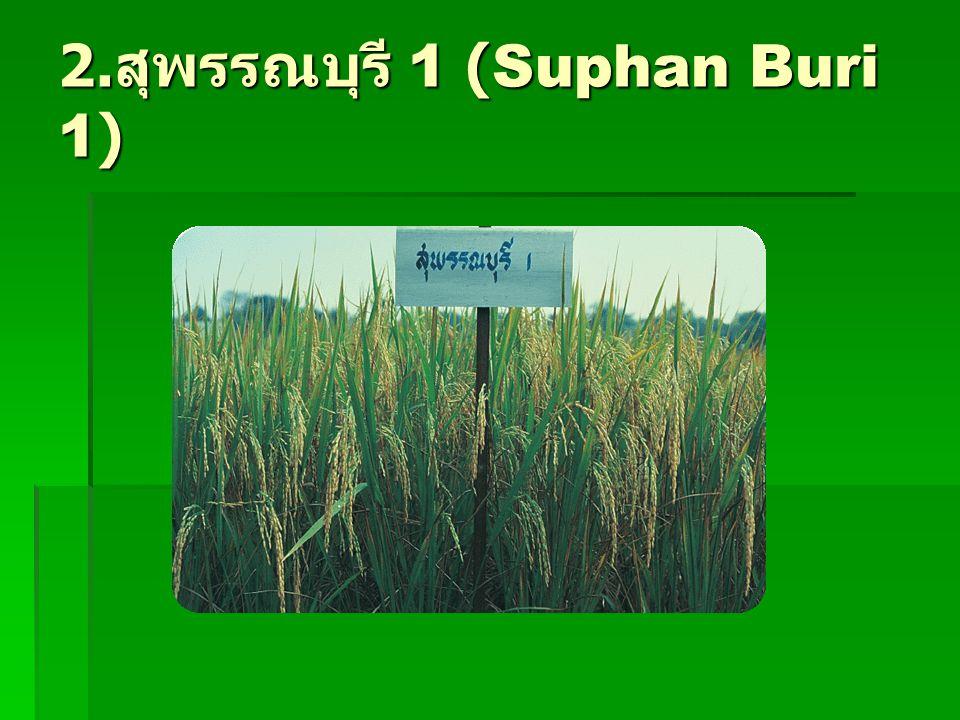 2. สุพรรณบุรี 1 (Suphan Buri 1)