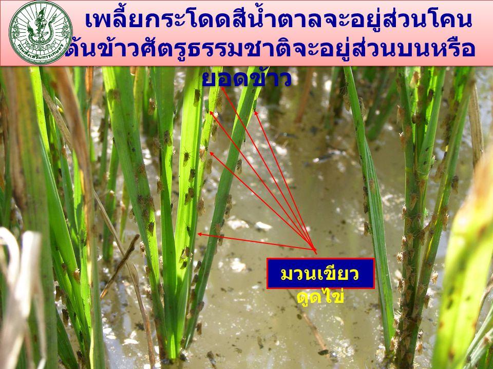 เพลี้ยกระโดดสีน้ำตาลจะอยู่ส่วนโคน ของต้นข้าวศัตรูธรรมชาติจะอยู่ส่วนบนหรือ ยอดข้าว มวนเขียว ดูดไข่