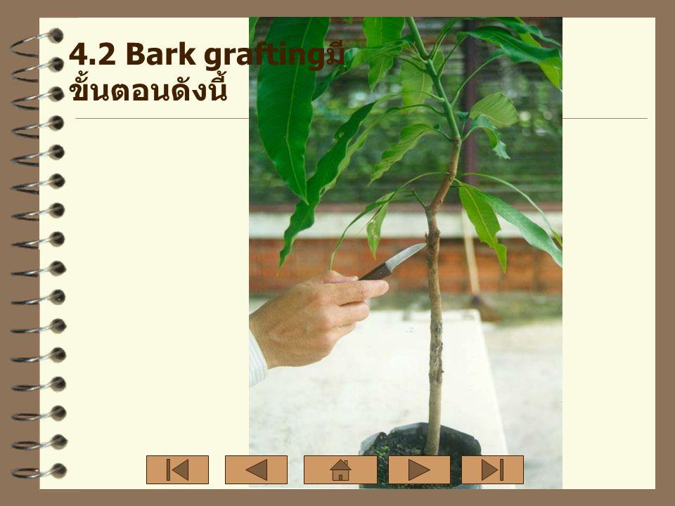 4.2 Bark grafting มี ขั้นตอนดังนี้