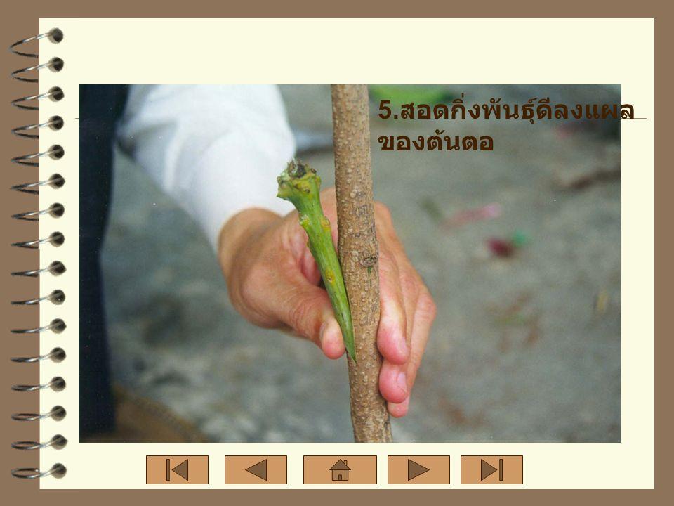 5. สอดกิ่งพันธุ์ดีลงแผล ของต้นตอ