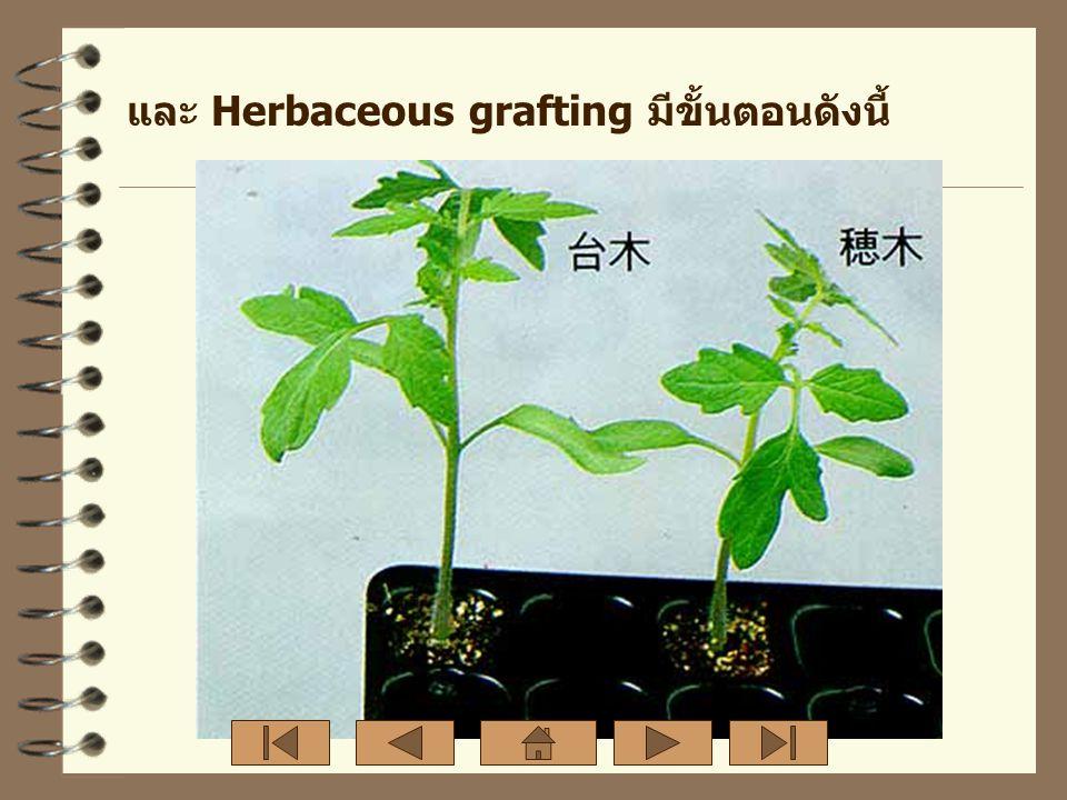 และ Herbaceous grafting มีขั้นตอนดังนี้
