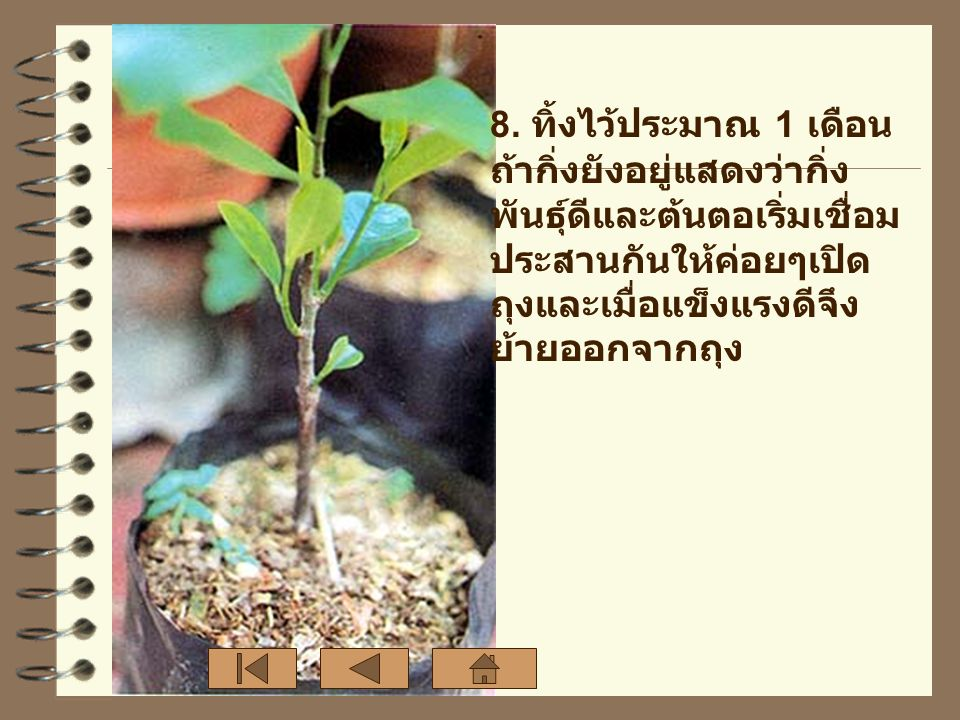 8. ทิ้งไว้ประมาณ 1 เดือน ถ้ากิ่งยังอยู่แสดงว่ากิ่ง พันธุ์ดีและต้นตอเริ่มเชื่อม ประสานกันให้ค่อยๆเปิด ถุงและเมื่อแข็งแรงดีจึง ย้ายออกจากถุง