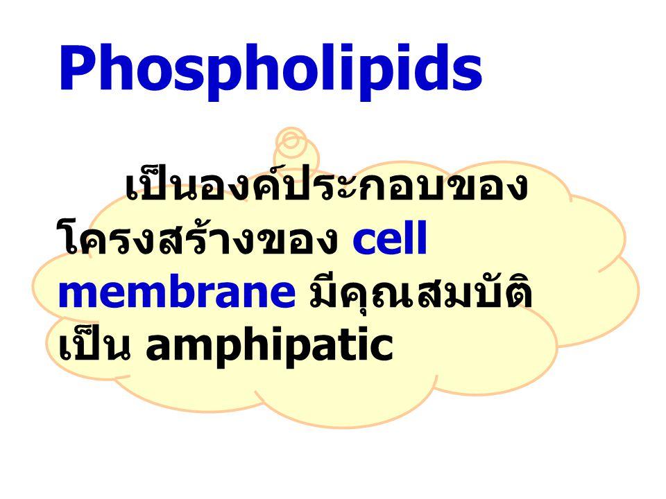 Phospholipids เป็นองค์ประกอบของ โครงสร้างของ cell membrane มีคุณสมบัติ เป็น amphipatic