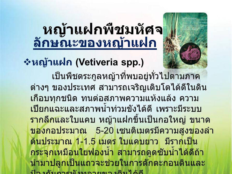 หญ้าแฝกพืชมหัศจรรย์ ลักษณะของหญ้าแฝก  หญ้าแฝก (Vetiveria spp.) เป็นพืชตระกูลหญ้าที่พบอยู่ทั่วไปตามภาค ต่างๆ ของประเทศ สามารถเจริญเติบโตได้ดีในดิน เกื
