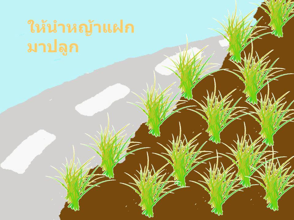 หญ้าแฝกจะ ช่วยยึดดิน และเบี่ยงเบน ทางน้ำ