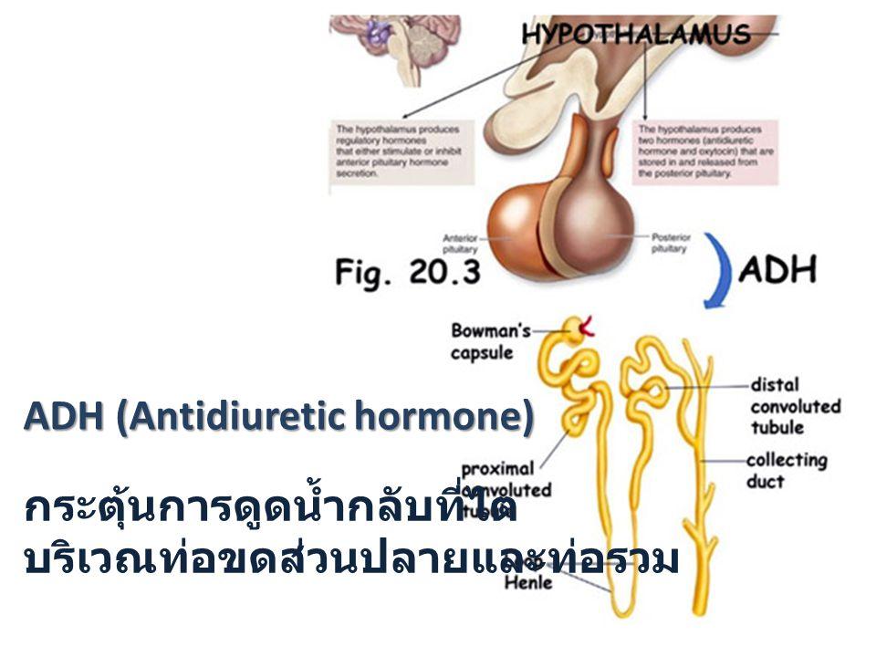 ADH (Antidiuretic hormone) กระตุ้นการดูดน้ำกลับที่ไต บริเวณท่อขดส่วนปลายและท่อรวม