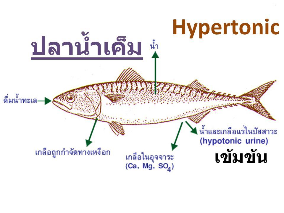 เข้มข้น Hypertonic ปลาน้ำเค็ม